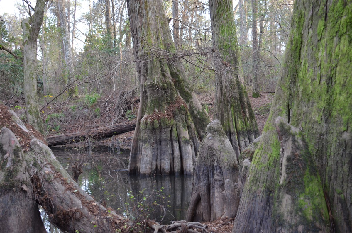 Bald cypress trees in a wetland