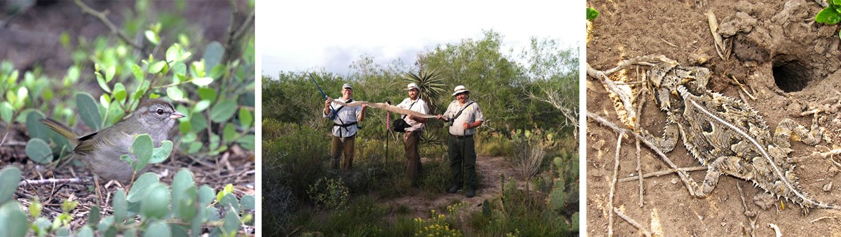 three images, with the first being an olive sparrow sitting on the ground. The second is three field researchers holding a large rattlesnake skin. The third image is a texas horned lizard on the dusty ground