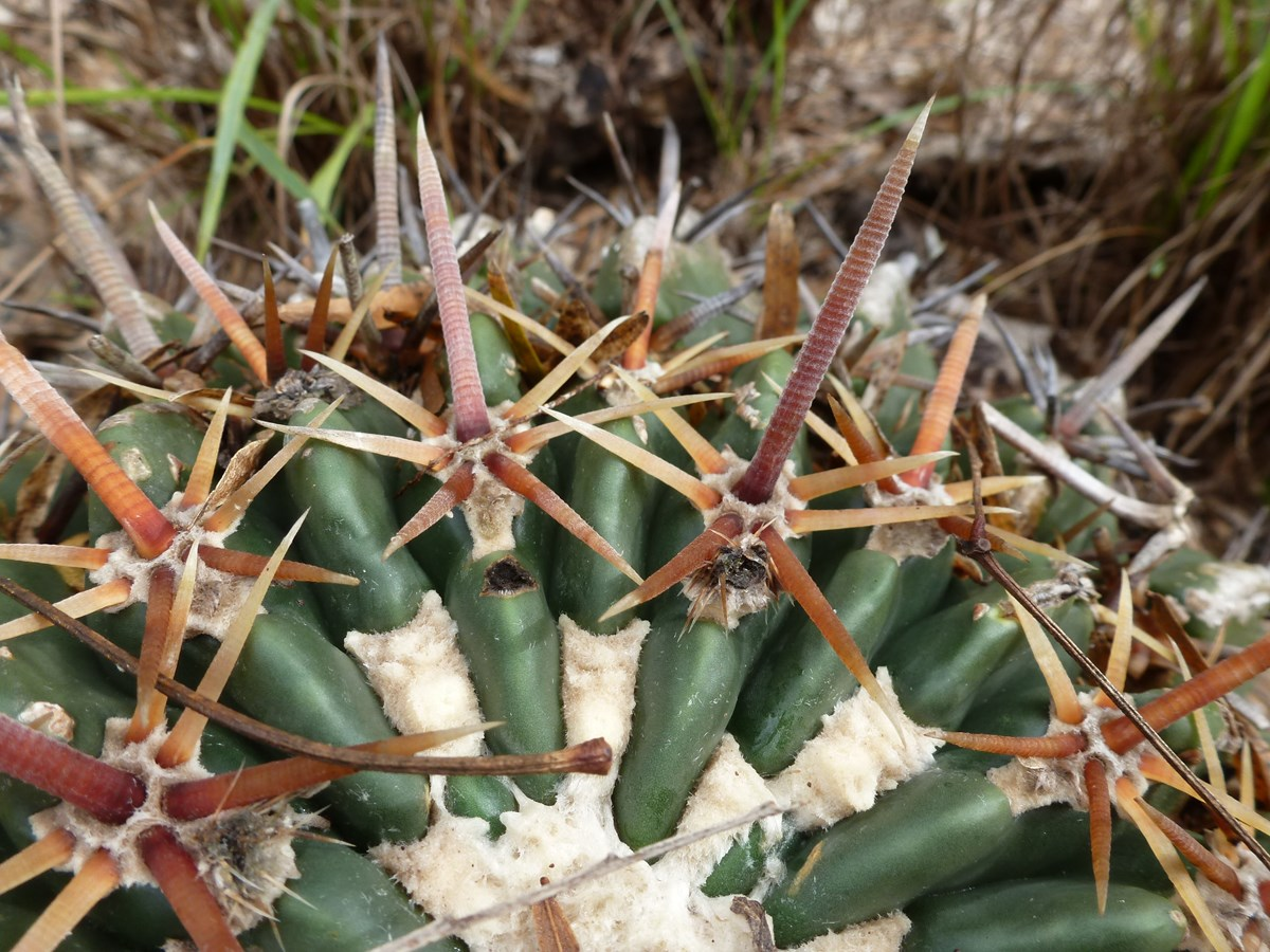 close-up of cactus Horse crippler (Ehinocactus texensis)