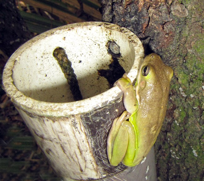 treefrog clinging to outside of a PVC pipe that is hung from a tree