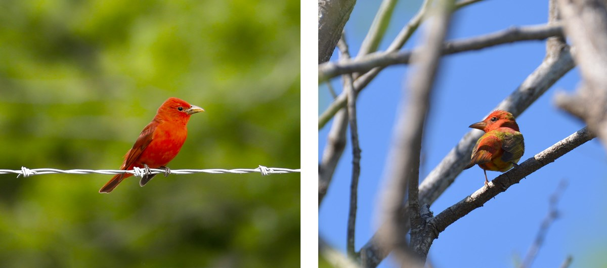 two images: first an adult summer tanager with bright red plumage and second an immature summer tanager with more mottled plumage