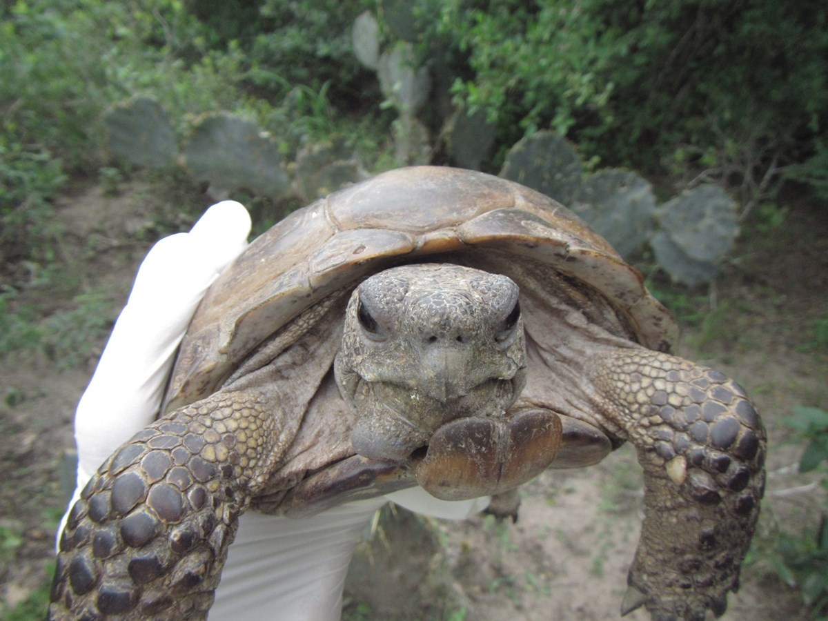 a large texas tortoise being held by a gloved hand