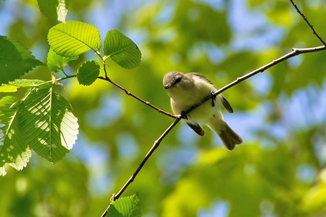 Warbling vireo on a tree branch
