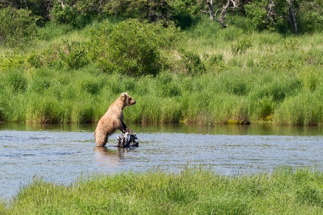 Brown bear on Brooks river