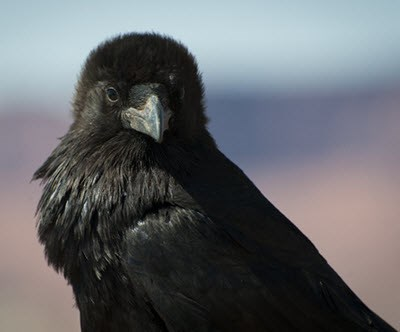 Closeup photo of a Common Raven looking directly at the camera