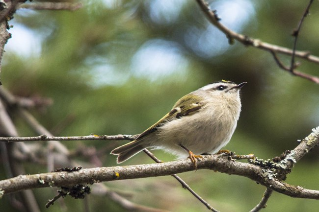 Golden-crowned Kinglet perched on a branch