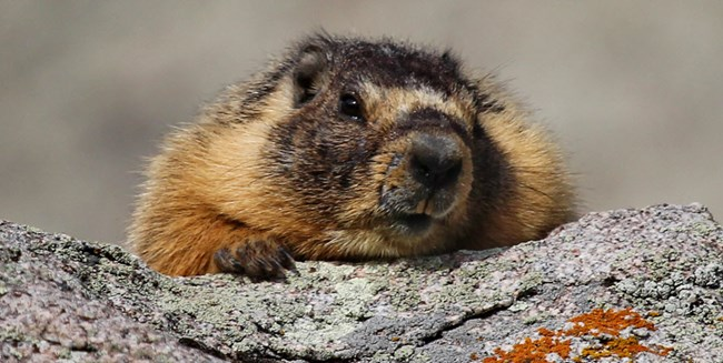 Marmot peering over a rock