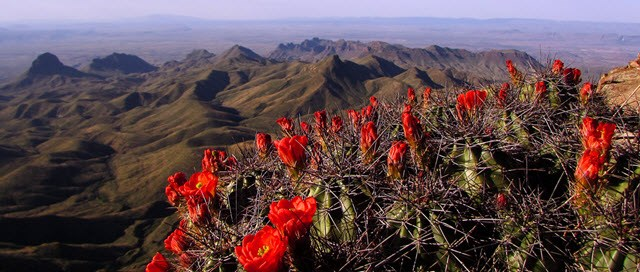 Blooming cactus in the foreground with mountains in the distance