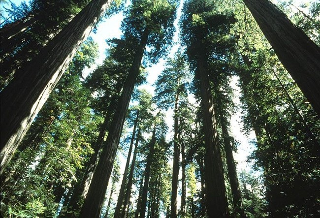 view of redwood trees, from the ground looking up into the treetops