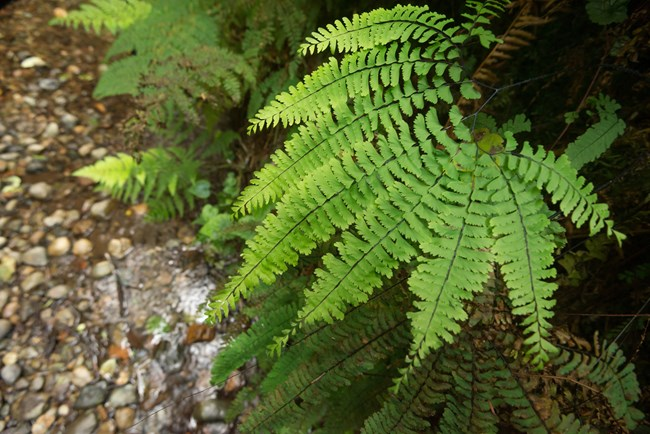 Fern in Redwood National and State Parks