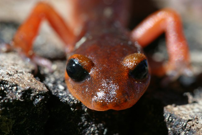 Head-on, close-up of a small orange salamander with dark eyes, crawling on the ground