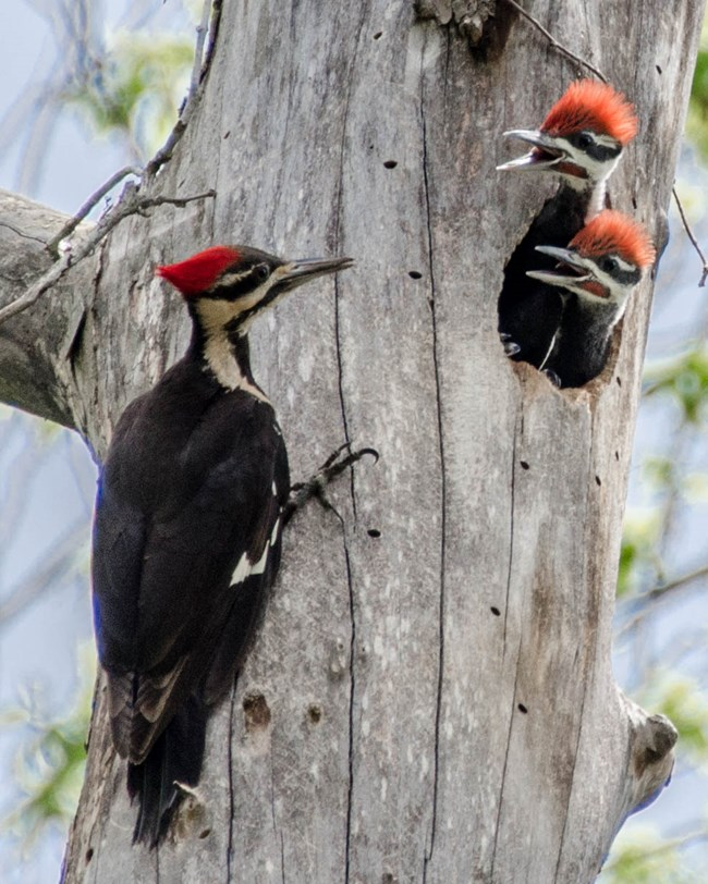 Large woodpecker parent facing two baby woodpeckers vocalizing from their hole in a dead tree