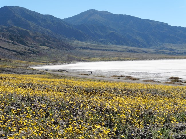 Field of yellow wildflowers on the edge of salt flat in Death Valley National Park