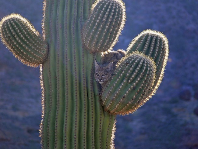 a bobcat perched among the spines of a saguaro cactus