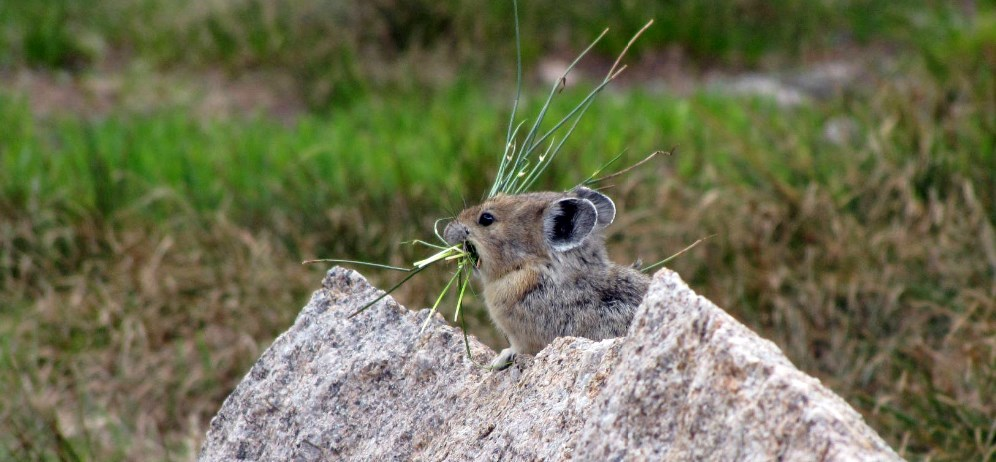 Lagomorph sits in a rock with a mouthful of grass.