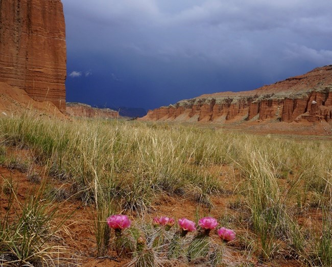 Desert grassland in red rock setting. Pink wildflowers grow in foreground as storm brews in the sky.