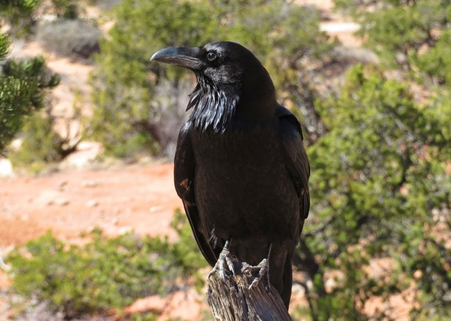 Common raven looks to left side of frame