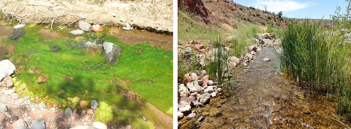 Two images: Flowing creek with large, bright green algae bloom, left, and clear-running creek with sedges, right.