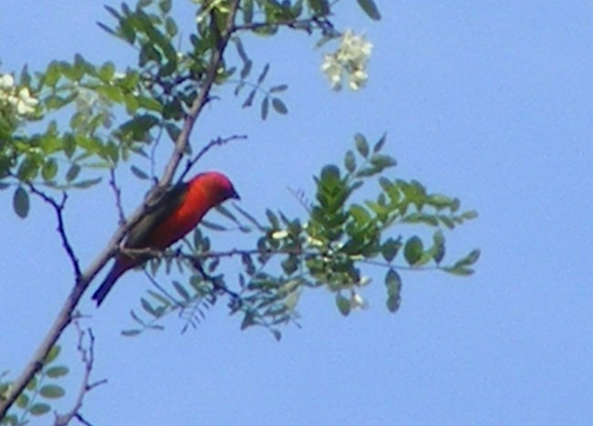 A red bird perches high in a tree against a blue sky.