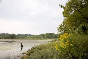 A marsh with yellow flowers and open water.