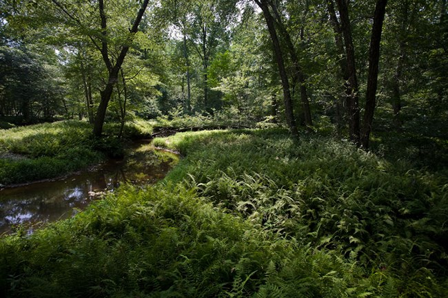 A fern-lined forest stream in summer.