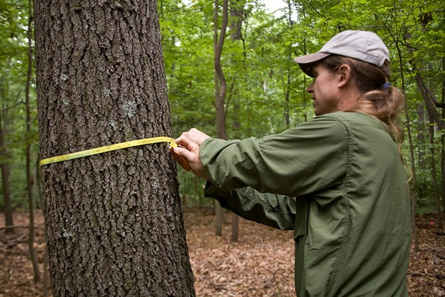 In a forest, a man stretches a yellow measuring tape around a tree trunk.