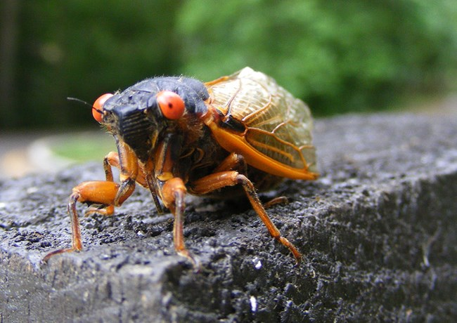 A red-eyed periodical cicada insect stares into the camera lens.