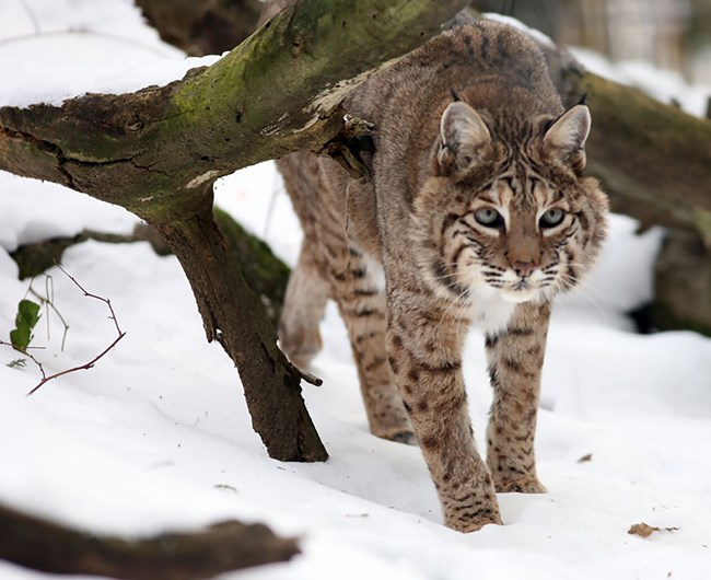 A Bobcat walks in the snow