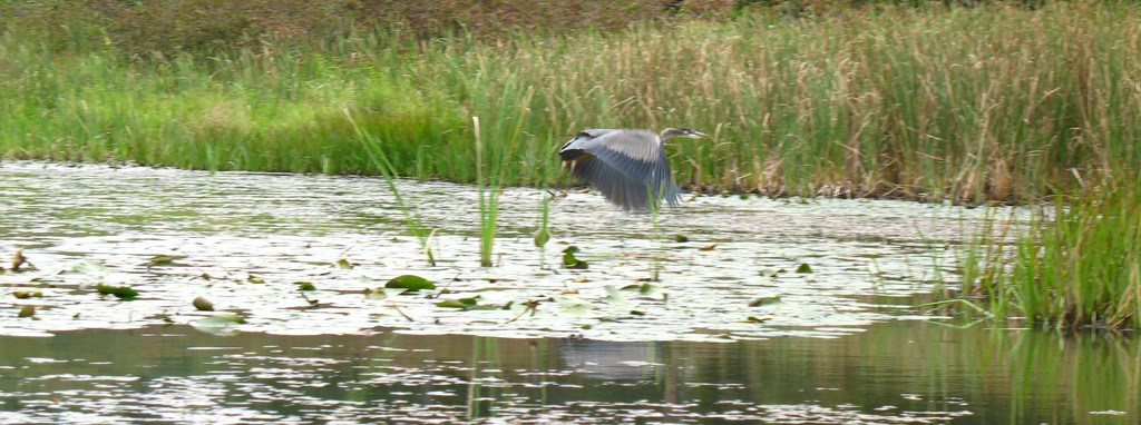 A Great Blue Heron takes off from Saint-Gaudens Blow-me-down Pond.
