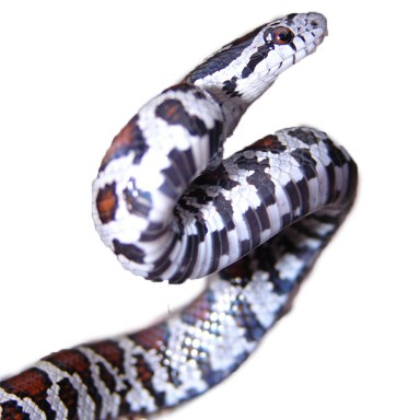 eastern_milk_snake_PD_Mike VanValen_small