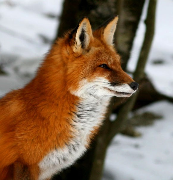 A red fox head shot