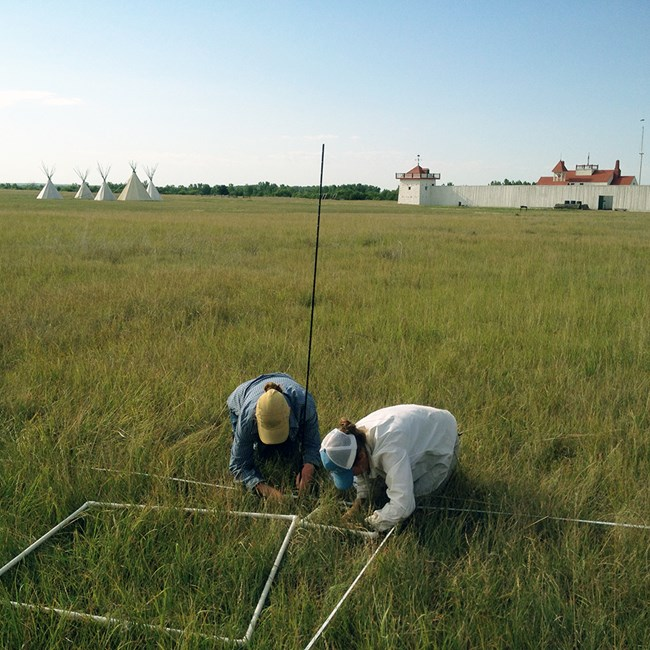 Two biologists crouching in the grass counting plants with a white fort and teepees in the background