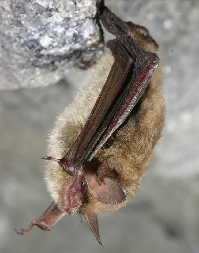 Side view of a small brown bat with long ears resting upside down from a rock