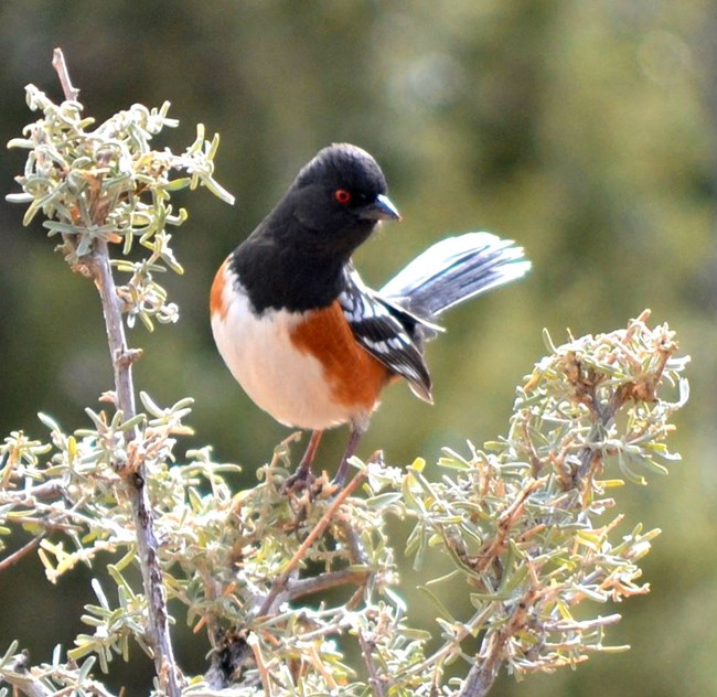 a striking black white and russet bird with red eyes perches on a bush