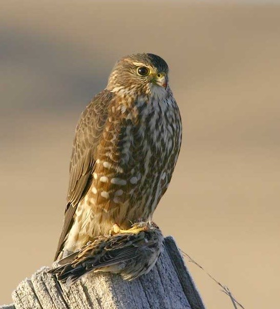 brown mottled bird of prey sitting on a fence post with small bird in its talons