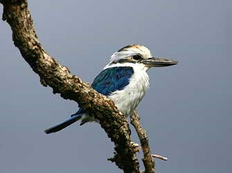 A collared kingfisher at the National Park of American Samoa