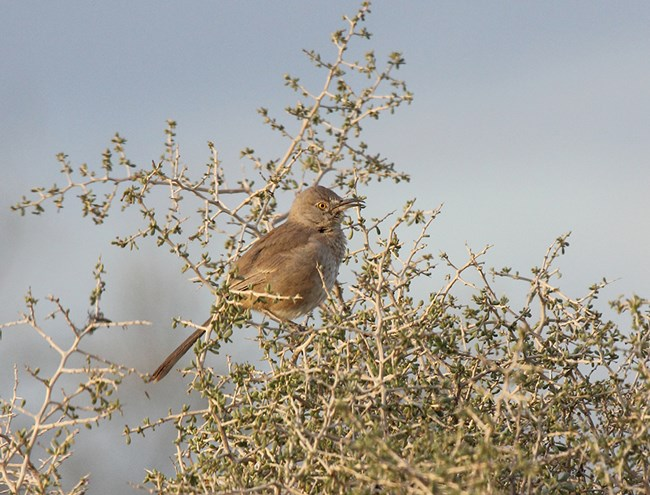 Light brown bird with yellow eyes, long tail and curved beak perched in a shrub with tiny green leaves.