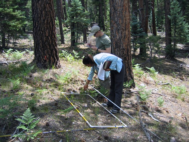 Two people in a ponderosa pine forest. There are branches, pine needles and green ferns on the ground. A woman is bending over a white frame that is laid out along measuring tape and pointing at the ground. A man is standing beside her, writing on a pad.