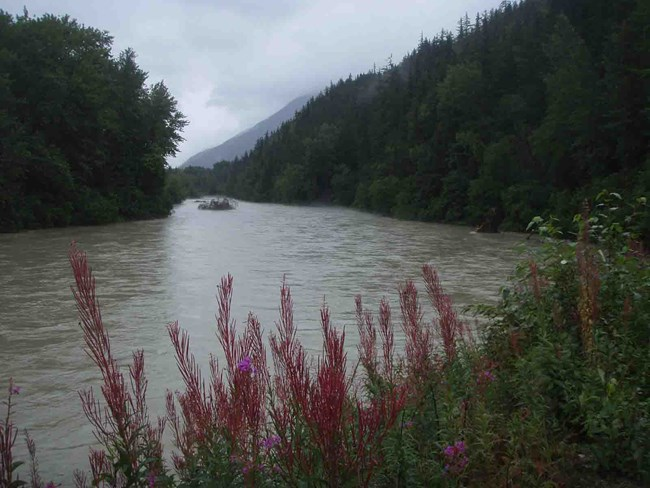 The Taiya River with blooming fireweed along the bank.