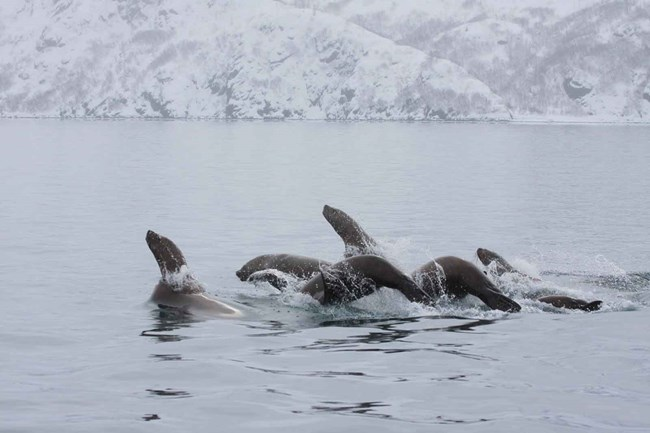 A group of Stellar sea lions on the move!