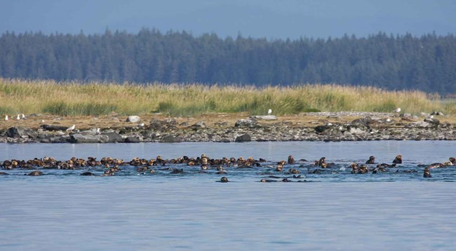A raft of sea otters.