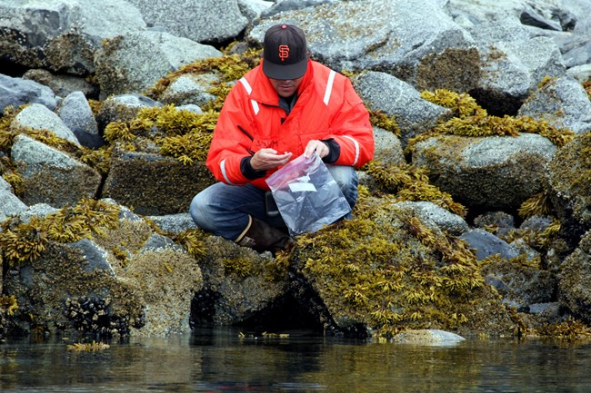 Collecting mussels to analyze them for marine contaminants.