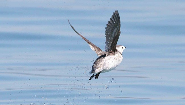 a Kittlitz's Murrelet takes off the water