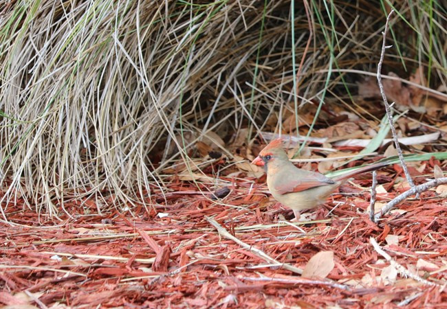 A female cardinal blends in with her surroundings at Cumberland Island National Seashore.