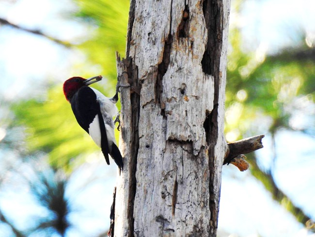 Red-headed woodpecker at Fort Pulaski National Monument