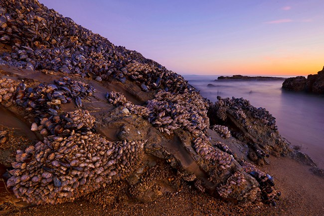 Mussel-covered rocks on the beach at sunset