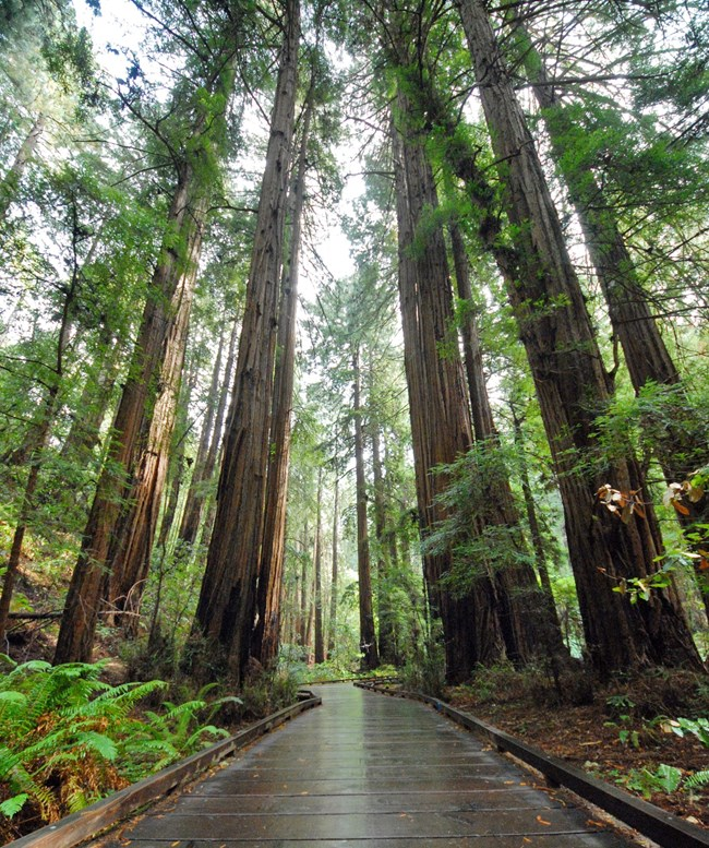 Boardwalk going itto the distance surrounded by towering Redwood trees