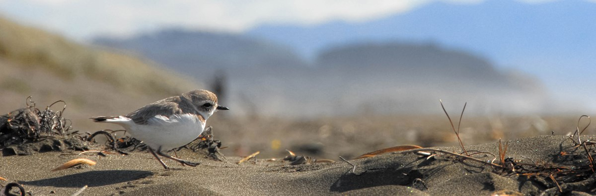 Snowy Plover walking in a sand dune