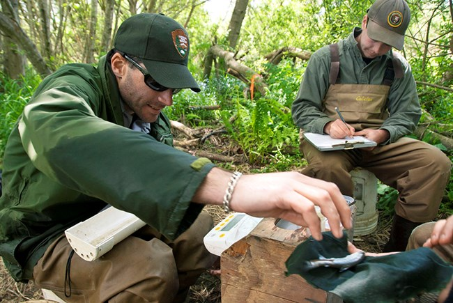One biologist measuring fish, while a partner records the data