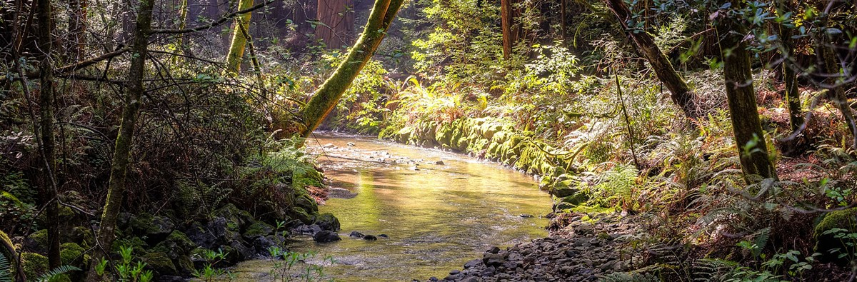 Golden light hits moss covered trees and ferns along a stream